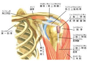 肩関節周辺の筋肉など