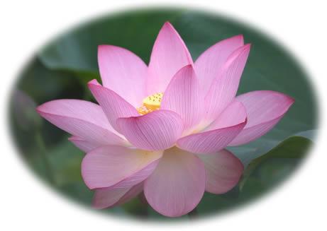 パドゥマナ蓮の花