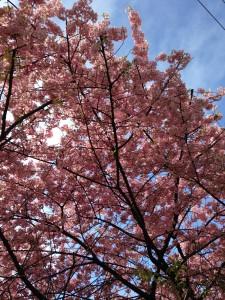 桜(大井町)