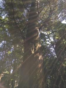 ご神木と木漏れ日