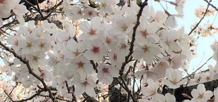春、桜の咲く頃~